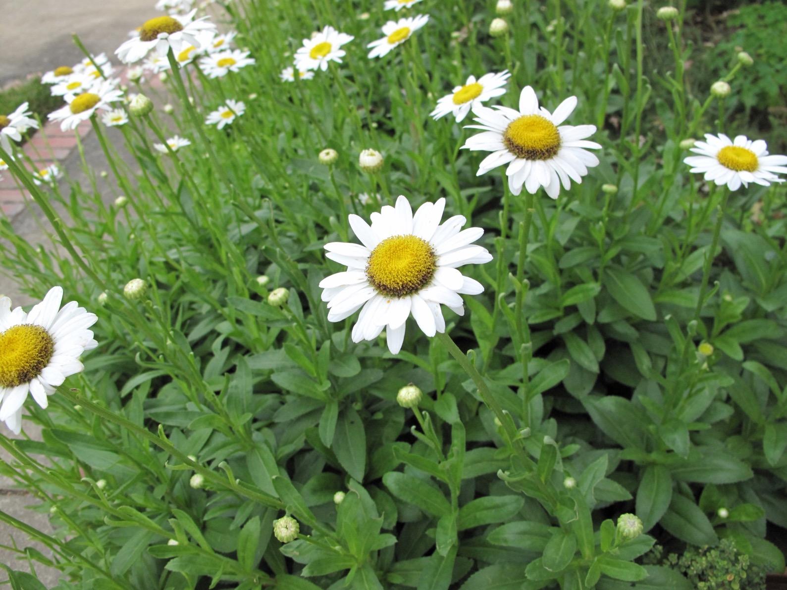 Looking For Alaska Daisy: Leucanthemum Superbum 'Alaska'