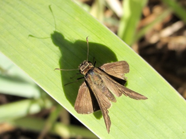 Skipper On Iris Leaf