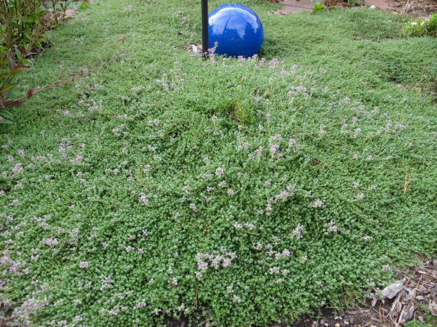 Thymus serpyllum 'Pink Chintz' (Pink chintz thyme) in Meditation Circle