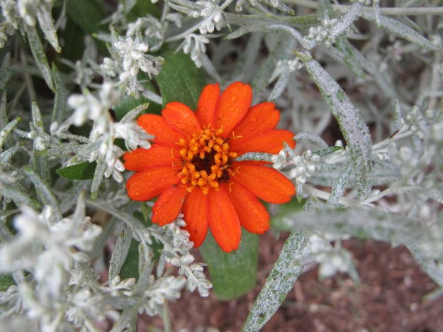 Zinnia 'Profusion Fire' and perennial Dusty Miller