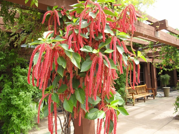 Amaranthus caudatus (love-lies-bleeding)
