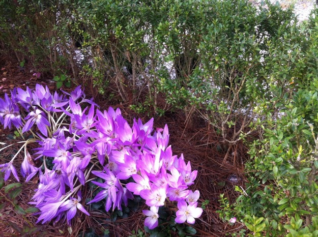 Colchicum at the Colonial Nursery