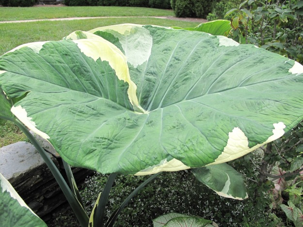 Colocasia (elephant ear), Duke Gardens