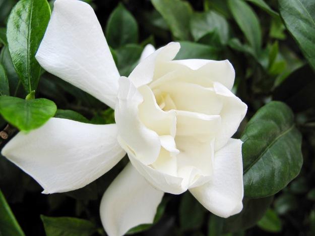 Gardenia sp.