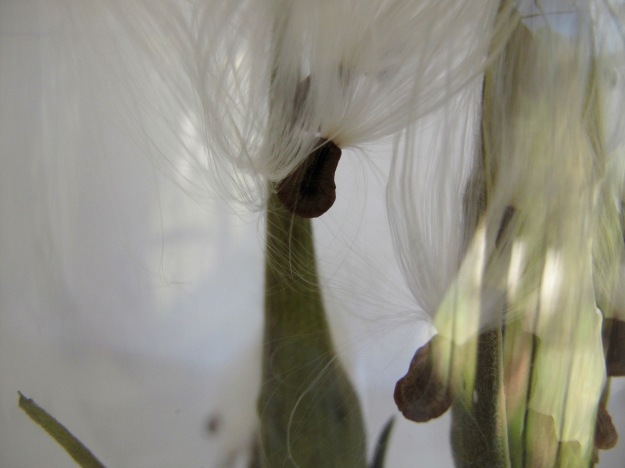 Silky-tailed Seeds In A Vase On Monday