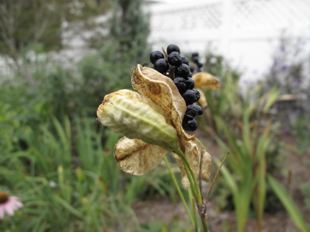 Iris domestica (Blackberry Lily)