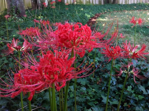 Lycoris radiata (spider lily)