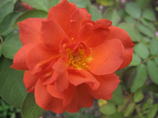 Rosa 'WEKcobeju' Cinco De Mayo TM Floribunda, 2007