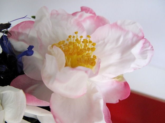 Camellia sasanqua 'Hana-Jiman'