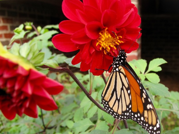 Danaus plexippus (monarch) and Dahlia sp.