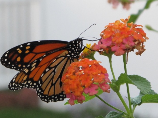 Danaus plexippus (monarch) and Lantana camara (Common Lantana)