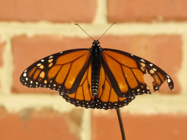 Danaus plexippus (monarch) - male
