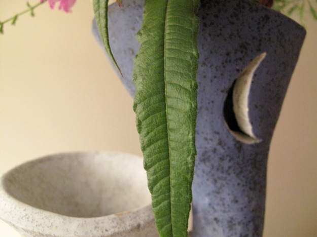 Detail of crescent moon on vase with Leaf of Helianthus angustifolius (Swamp Sunflower)