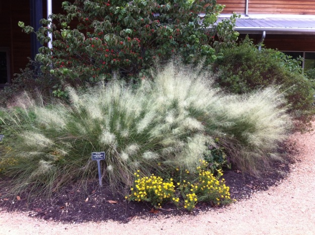 Muhlenbergia capillaris 'White Cloud' (Hairgrass)