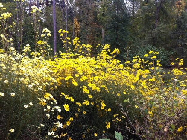Sunflowers at NCBG