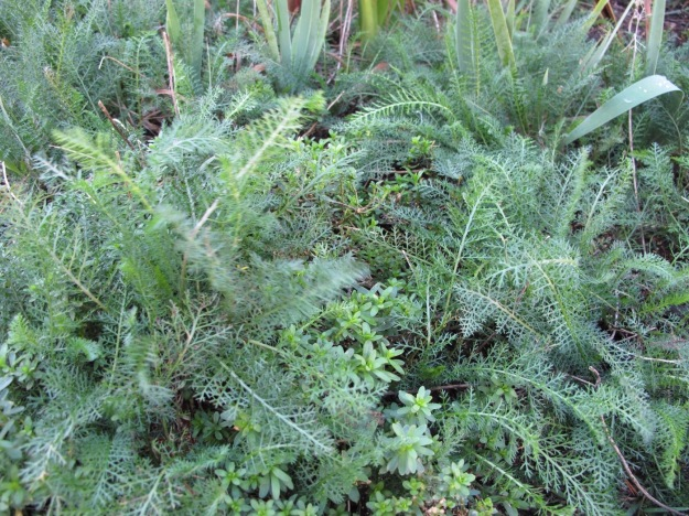 Achillea filipendulina (Fern-leaf Yarrow) and Iberis sempervirens
