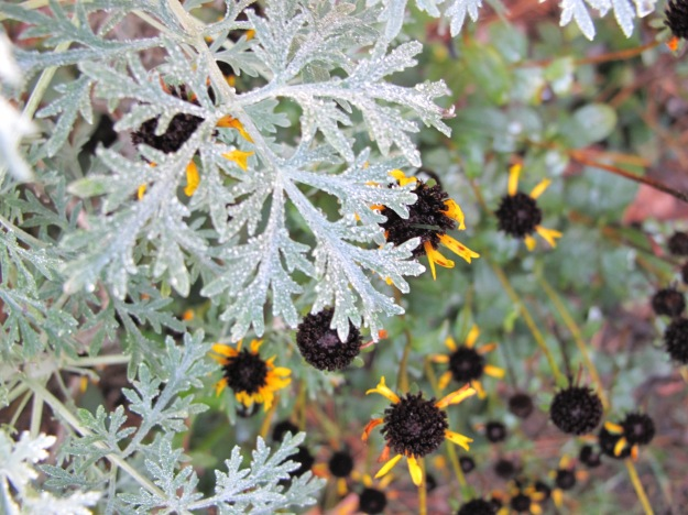 Artemisia 'Powis Castle' (Wormwood) and Rudbeckia fulgida (Orange Coneflower)