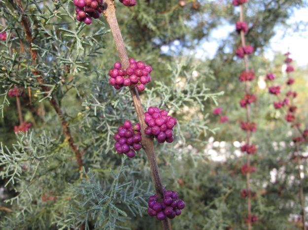 Callicarpa americana (American beautyberry)