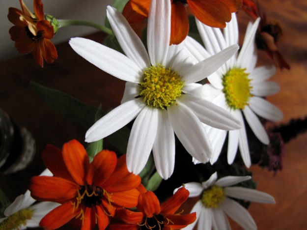 Daisy and Zinnia 'Profusion Fire'