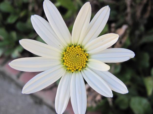 Leucanthemum x superbum (Shasta Daisy) (1).jpg
