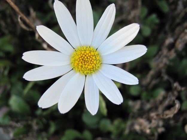 Leucanthemum x superbum (Shasta Daisy).jpg