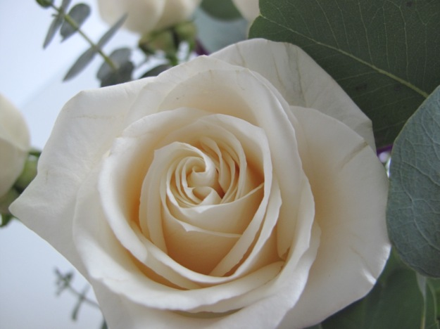 Apricot-tinged White Rose
