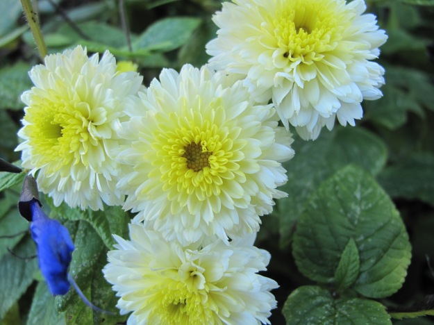 Chrysanthemum. Yellow buds give way to pale flowers with bright sunny centers. Nov 2, 2014.