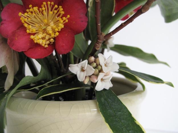 Camellia sasanqua 'Yuletide' and Daphne odora 'Aureomarginata'