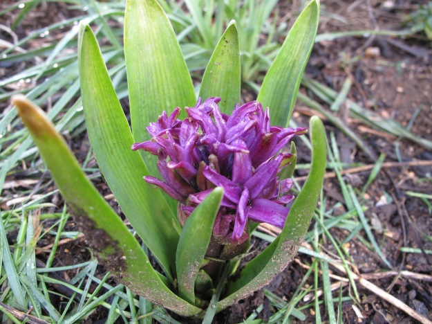 Hyacinth orientalis 'Woodstock'