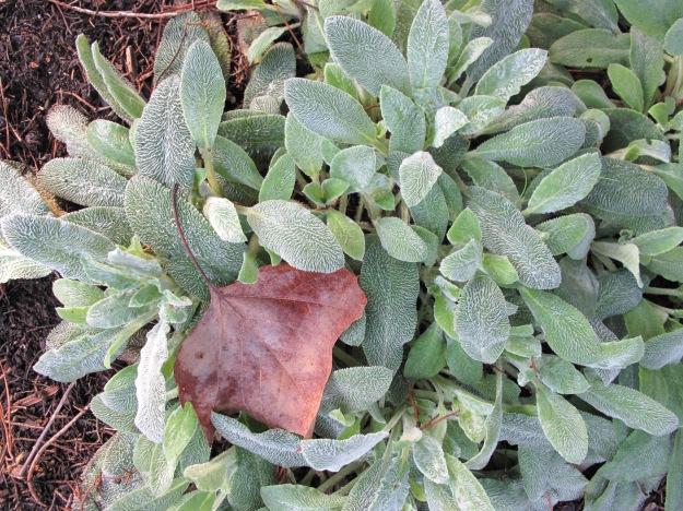 Stachys byzantina (Lamb's Ear)
