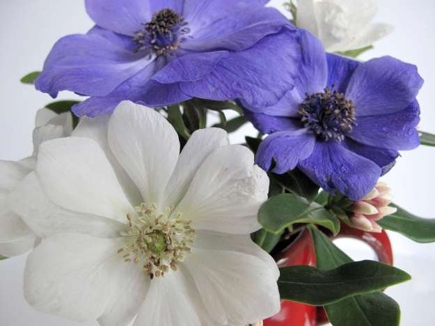 Anemone coronaria 'Bride' and 'Mr. Fokker'