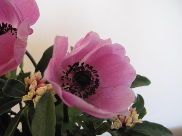Anemone coronaria 'Harmony Orchid'