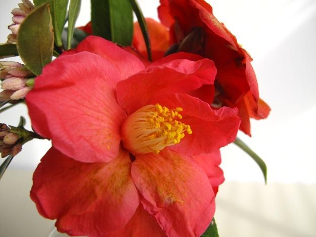 Daphne odora (Winter daphne) and Camellia x 'Coral Delight'