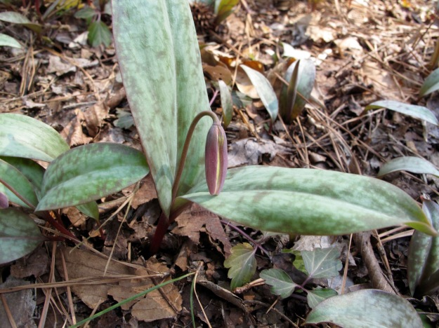 Nodding bud of Erythronium umbilicatum (Dimpled Trout-lily)