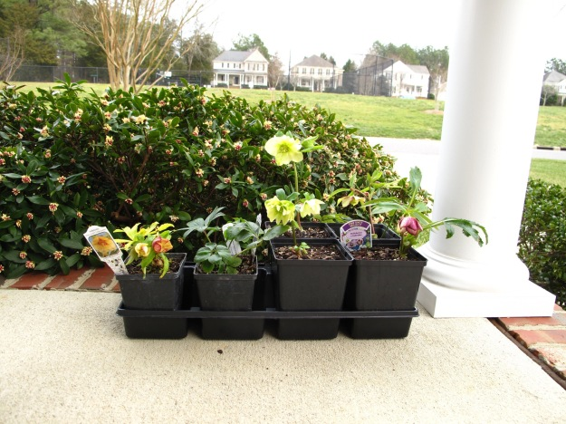 Hellebore Purchases From Pine Knot Farms