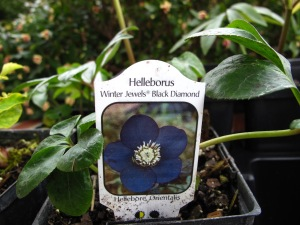 Helleborus Winter Jewels Black Diamond (Hellebore Orientalis)