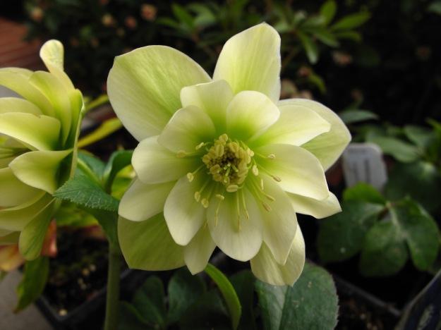 Helleborus x hybridus (Lenten Rose)