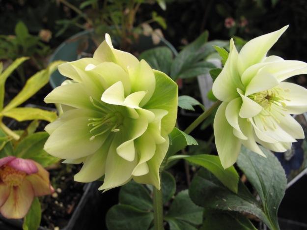 Helleborus x hybridus (Lenten Rose) -double