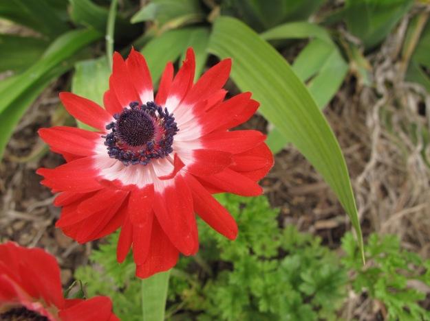 Anemone coronaria 'Governor' (Governor Double Poppy Anemone)