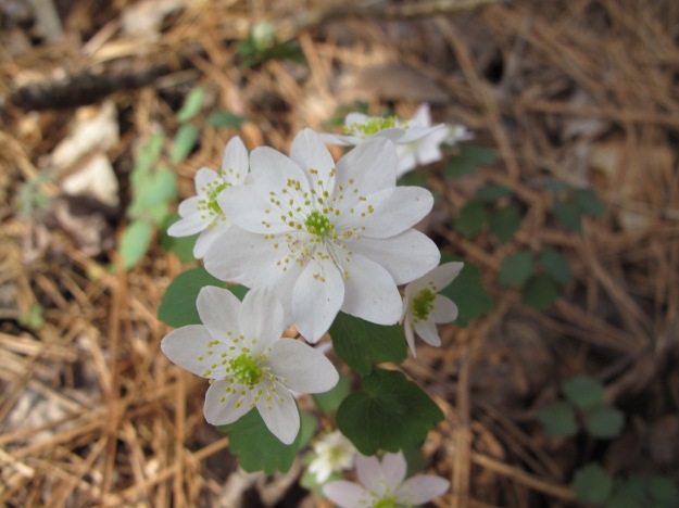 Anemonella thalictroides (Windflower)