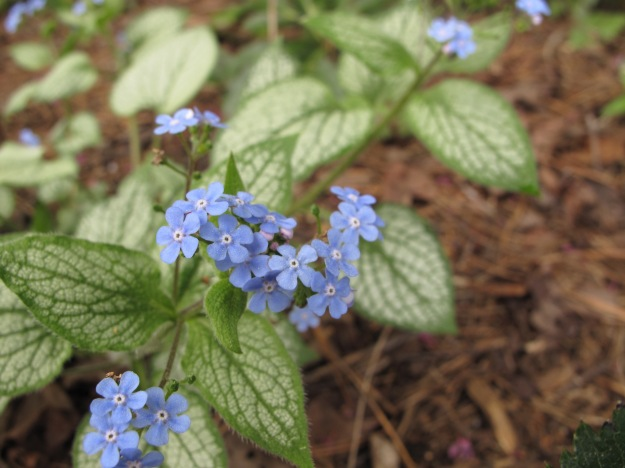 Brunnera macrophylla 'Silver Heart' (False Forget-Me-Not)