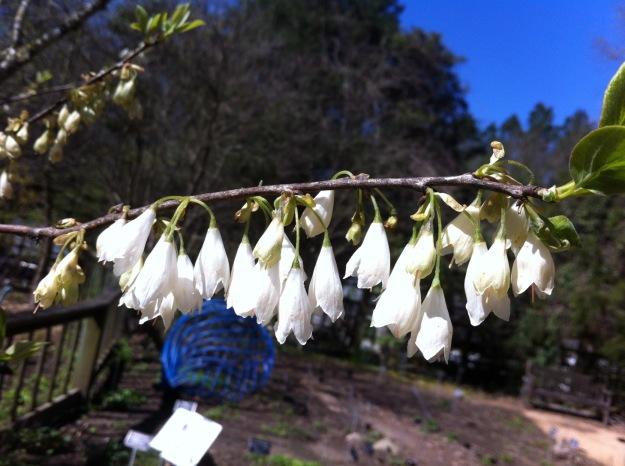 Halesia tetraptera var. monticola (Mountain Silverbell)
