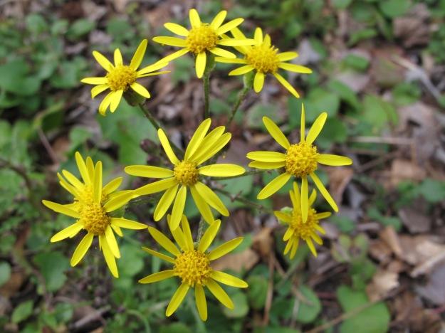 Packera aurea (syn. Senecio aureus) (Golden Ragwort)