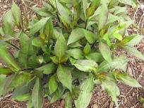 Phlox paniculata (Garden Phlox) possibly 'Robert Poore'