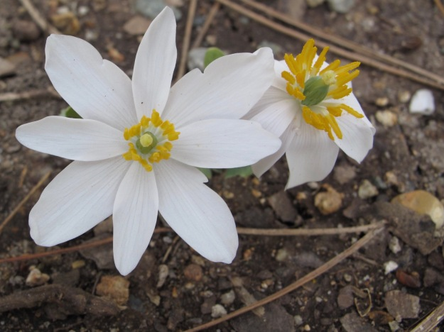Sanguinaria canadensis (Bloodroot) -eastern and central North America