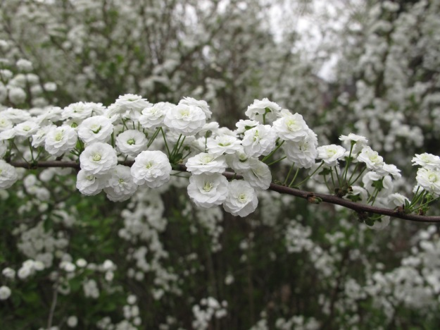 Spiraea prunifolia (bridal wreath spiraea)
