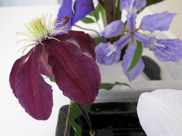 Clematis 'Niobe' With Iris tectorum (Japanese Roof Iris)