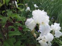 Clematis 'Niobe' and Iris germanica 'Immortality'
