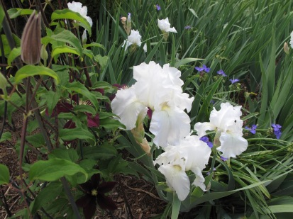Clematis 'Niobe', Iris germanica 'Immortality' with Tradescantia (Spiderwort)
