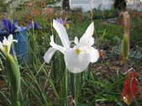 Dutch Iris mix (Planted Fall 2015)